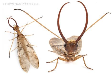 Olbrzymie żuwaczki samca Corydalus (ang. dobsonfly) wyglądają jak potężna broń, ale nią nie są. Samce używają ich tylko do rytualnej walki z innymi samcami i są one zbyt słabe, by uszczypnąć lub zranić kogokolwiek (Barbilla N.P., Costa Rica).