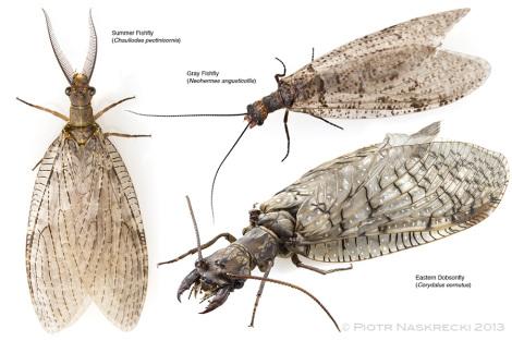 Trzy gatunki wielkoskrzydłych występujące w Nowej Anglii.