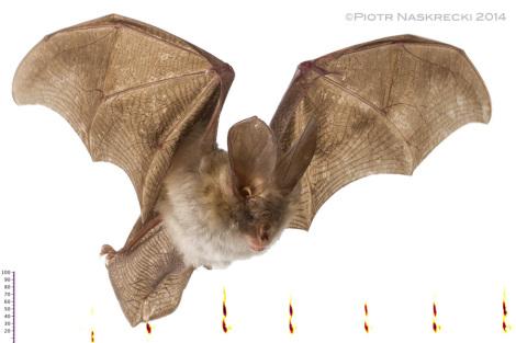 Nietoperz bruzdonosowaty (Nycteris cf. thebaica) z Gorongosa i sonogram jego echolokacji.
