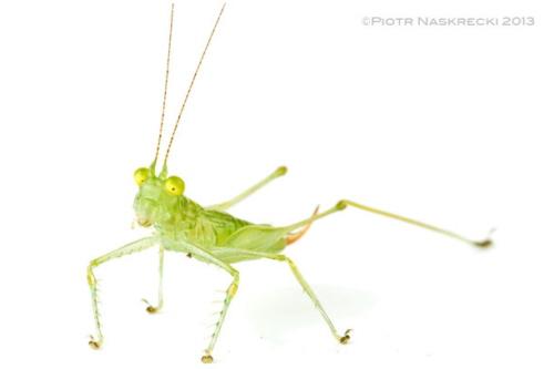 Olbrzymie oczy są dobrą wskazówką na sposób polowania pasikoników szklanych – prowadzą dzienny tryb życia i siedzą i czekają na małe muchy i inne miękkie owady. Ten niedawno odkryty i jeszcze nienazwany gatunekPhlugisz Kostaryki poluje na małe, latające owady na skraju lasu deszczowego.