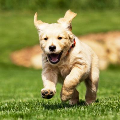 Kocham psy i szczeniaki; użyłem więc tego postu jako pretekstu do zamieszczenia zdjęcia uroczego szczeniaka.
