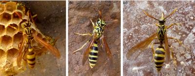 """(Z artykułu): Dwa gatunki os eusocjalnych i """"ćma-osa"""" z Kostaryki – ale które jest które? Ćma naśladuje nie tylko paski na odwłoku, ale także przezroczyste i złożone skrzydła, """"szypułkę"""" odwłoka i wzór na tułowiu osy. Jej tożsamość zdradzają trąbka i czułki. (a) Mischocyttarus sp., (b) Polybia sp. (Hymenoptera: Vespidae), (c) Pseudosphex laticincta (Lepidoptera: Erebidae: Arctiinae)"""
