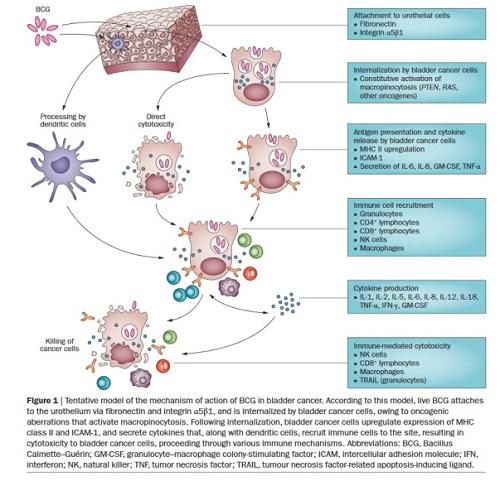 """<span>""""Innymi słowy – to skomplikowane"""" – proponowany uproszczony model mechanizmów działania BCG na komórki raka pęcherza;</span>https://www.nature.com/articles/nrurol.2014.15"""