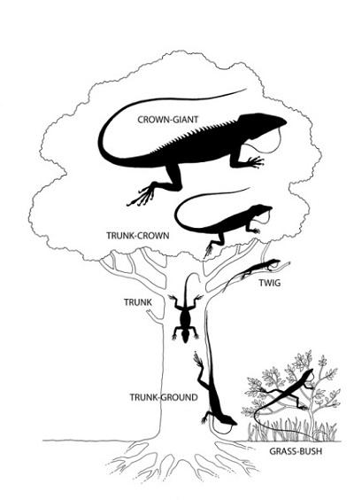 Ekomorfy anolisów wykazujące charakterystyczne rozmiary, miejsce i morfologię; każdy z nich wyewoluował niezależnie dwa lub trzy razy na Wielkich Antylach. Z Losos, 2009, w oparciu o pracę E.E. Williams.