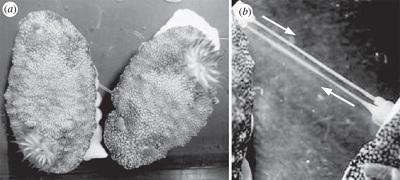 <span>Dwa kopulujące</span>Chromodoris reticulata<span>. Z Sekizawa et al., Biology Letters</span>