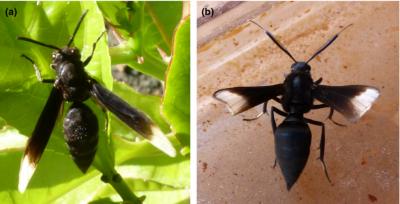 """(Z artykułu): przypadek ścisłego podobieństwa między czarną osą eusocjalną (a, Hymenoptera: Vespidae: Parachartergus apicalis) a ćmą neotropikalną (b, Lepidoptera: Erebidae: Arctiinae: Myrmecopsis strigosa), pokazująca te same naśladowcze cechy (odwłok, skrzydła, """"szypułkę"""", tułów), które były omawiane dla os (ilustracje 2 i 3). Pokazuje to, że hipoteza obszernie omawiana dla os rodzajówVespula i Dolichovespula może także być stosowana do zrozumienia ścisłego naśladownictwa innych wzorów barw. (Składanie skrzydeł ćmy jest na tej fotografii niekompletne.)"""