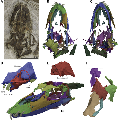 "<span>(From paper): Figure 1. The Skull of </span>Tanystropheus hydroides<span> sp. nov. Holotype PIMUZ T 2790 (A) The complete skull in dorsal view. (B and C) Digital rendering of the skull in dorsal view (B) and ventral view (C). This model is also presented in Video S1. (D) Digital rendering of the endocast and endosseous labyrinth (mirrored). (E) Digital rendering of the right squamosal in posterolateral view. (F) Reconstruction of the temporal region in oblique right lateral view, highlighting the streptostylic articulation of the quadrate and squamosal. (G) The digitally ""re-assembled"" skull of PIMUZ T 2790 in angled left lateral view. This model is also presented in Video S2.</span>"