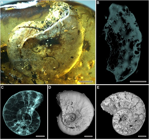 <span>Figure 2 from paper: Ammonite Puzosia (Bhimaites) Matsumoto. (A) Lateral view under light microscopy. (B) Flattened sutures reconstructed by microtomography. (C) Microtomographic reconstruction, apparent view. (D) Microtomographic reconstruction, surface rendering; (E) Microtomographic reconstruction, virtual section. (Scale bars, 2 mm.)</span>