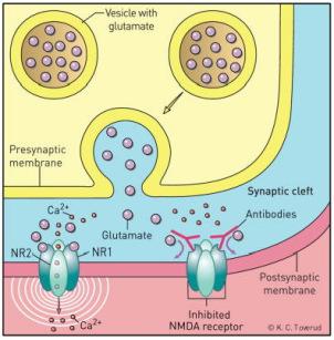 Przeciwciała (różowe igreki) nie pozwalają glutaminianowi związać się ze swoim receptorem, tak iż pozostaje on zamknięty; http://www.ncbi.nlm.nih.gov/pmc/articles/PMC3707140/