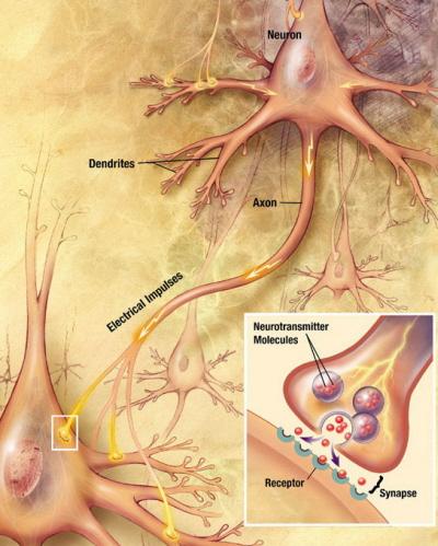 Zakończenie nerwowe z obrazem połączenia synaptycznego – widoczne pęcherzyki synaptyczne; wikipedia, domena publiczna