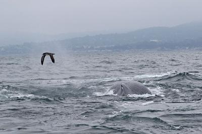 Burzyk różowonogi(Puffinus creatopus)przelatuje nad wynurzającym się wielorybem.