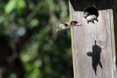 Kaczętom wydają się pomagać w locie ich stopy z błoną pławną.