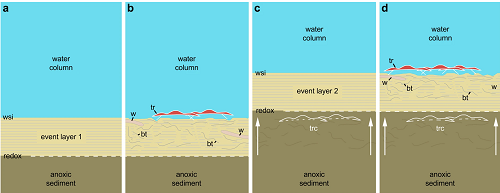 <span>Scenario to explain the in situ preservation of the</span>Ampyx<span>linear clusters from the Lower Ordovician (Upper Tremadocian-Floian) of Morocco. (a) Deposition of a distal tempestite (event layer 1). (b) Epibenthic (e.g. trilobites) and shallow endobenthic (e.g. possible worms) organisms settle and generate bioturbation above red-ox boundary. (c) Second storm event layer entombs epibenthic fauna in situ; red-ox boundary moves upwards (white arrows). (d) New faunal recolonization. According to Vaucher et al.34, distal storm deposits are relatively thin (less than 5cm) and consist of a waning (base) and waxing (top) phases (subdivision not represented in this diagram), and depositional environment is that of the distal lower shoreface with a possible water depth of approximately 30–70m. Bioturbation is based on polished and thin sections (Fig. 3 and Supplementary Figs 8 and 9). Abbreviations are as follows: bt, bioturbation; tr, trilobite group (Ampyx); trc, trilobite carcasses (</span>Ampyx<span>); w, worm; wsi, water-sediment interface.</span>