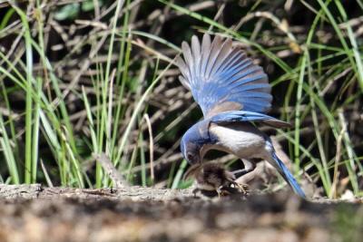 Modrowronka rozprawia się z kaczątkiem.