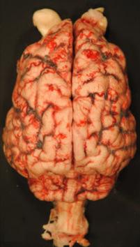 Mózg Knuta; badanie sekcyjne; CC BY 4.0; http://www.nature.com/articles/srep12805
