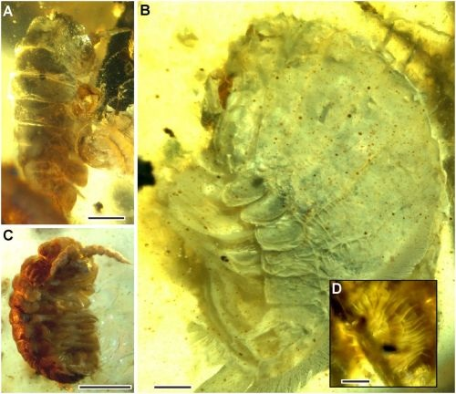(Figure 3 from paper): Isopods of uncertain taxonomic affinity, but generally consistent with littoral or supralittoral taxa. (A) Isopod 1. (B) Isopod 2. (C) Isopod 3. (D) Circular structure attached to the dorsal surface of isopod 2. (Scale bars, 1 mm in A and C. Scale bar, 0.5 mm in B and D.)