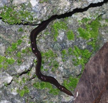 <span>Kilkucentymetrowy drapieżny płaziniec Platydemus manokwari również potrafi przenosić larwy A. cantonensis;</span>https://peerj.com/articles/1037/