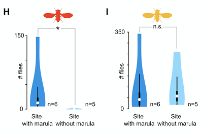(H and I) Violin plots showing the number of D. melanogaster (H) and D. simulans (I) caught at sites with or without marula. Violin plots are as per (G). Differences between the means were analyzed for significance (∗) with a Mann-Whitney U test (p < 0.05).