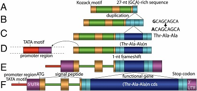 Evolutionary mechanism of the gadid AFGP gene from noncoding DNA. The color codes of the sequence components follow Fig. 1. (A) The ancestral noncoding DNA contained latent signal peptide-coding exons with a 5′ Kozak motif, adjacent to a duplication-prone 27-nt GCA-rich sequence. (B) The 27-nt GCA(Ala)-rich sequence duplicated forming four tandem copies. (C) A 9-nt in the midst of the four 27-nt duplicates became the three codons for one AFGP Thr-Ala-Ala unit and underwent microsatellitelike duplication forming a proto-ORF. (D) A proximal upstream regulatory region acquired through a putative translocation event. (E) A 1-nt frameshift led to a contiguous SP, a propeptide, and a Thr-Ala-Ala-like cds in a read-through ORF. (F) Intragenic (Thr-Ala-Ala)n cds amplification, fulfilling the antifreeze function under natural selection.