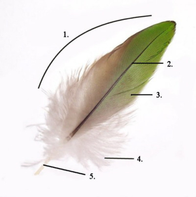 Parts of a feather: 1. Vane,  2. Rachis, 3. Barb, 4. Afterfeather, Hollow shaft, calamus