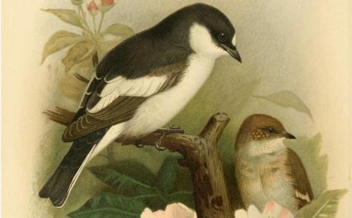 Muchołówki żałobne, zdjęcie z Biodiversity Heritage Library via Creative Commons/Flickr.