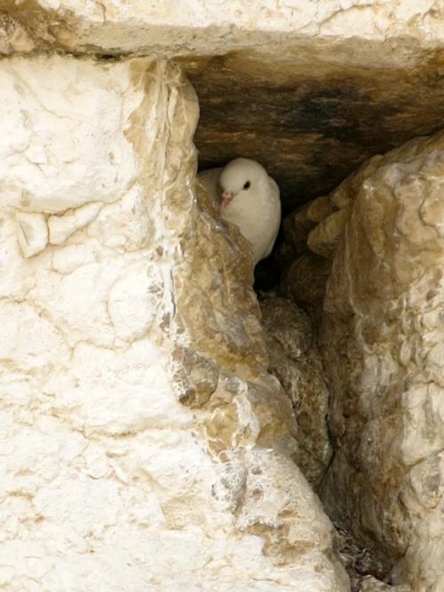 Gołąb gnieździ się między kamieniami Ściany Zachodniej Jerozolimy(Zdjęcie: Qanta Ahmed)