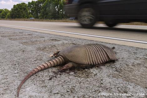 Chciałbym móc spędzić więcej czasu w Georgii – miło byłoby zobaczyć pancerniki w formie innej niż spłaszczone naleśniki na autostradzie. Jadąc z Savannah do Atlanty naliczyłem 27 zwłok tych zwierząt zabitych przez samochody.