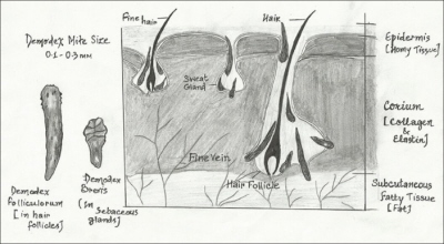 Nużeńce ludzki i krótki; https://www.ncbi.nlm.nih.gov/pmc/articles/PMC3884930/, CC BY-NC-SA 3.0