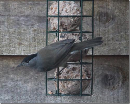 Nie jest to nadzwyczajne zdjęcie (jest dzisiaj ciemno i ponuro na dworze); jest to kapturka (Sylvia atricapilla)ucztująca przy moim karmniku dla ptaków.