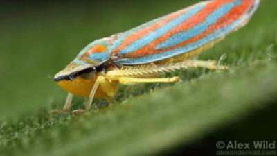Przeżycie skoczkowatych jest uzależnione od bakterii. Niektóre z tych bakterii mają najmniejszy jak dotąd zaobserwowany genom. Zdjęcie copyright Alex Wild.