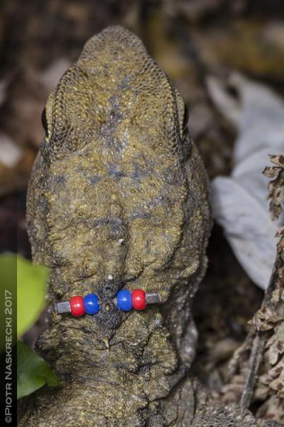 """Aby umożliwić śledzenie ruchów indywidualnych hatterii, każde zwierzę spośród pierwszych 70 wypuszczonych na wolność w Karori jest oznakowane unikatowym zestawem małych kolorowych koralików. Zależnie od wielkości zwierzęcia mają między 2 a 6 koralików przyczepionych do grzebienia u nasady głowy. Chociaż obecność koralików nieco psuje iluzję, że zwierzę jest """"dzikie"""", tradycyjną alternatywą byłoby obcięcie palca lub kombinacji palców – dużo bardziej bolesna i ryzykowna procedura."""