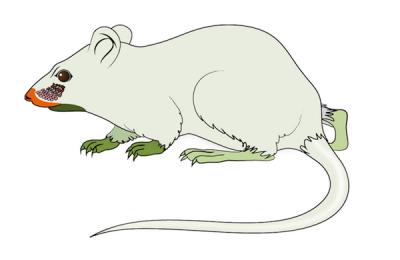 Mapa czuciowa myszy. Ilustracja z Zembrzycki et al. Nature Neuroscience, Sierpień 2013, doi:10.1038/nn.3454