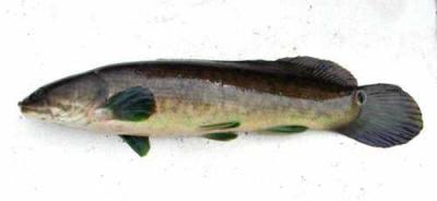 <br />Miękławka (Amia calva) – proszę zauważyć parę płetw miedniczych dobrze odsuniętych w tył ciała. (Tylna płetwa brzuszna jest pojedynczą płetwą analną). Z nicholls.edu