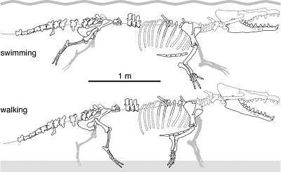 (From paper): Schematic drawings of the articulated skeleton of MUSM 3580 showing the main preserved bones, in a hypothetical swimming and terrestrial posture. For paired bones, the best-preserved side was illustrated (sometimes reversed), or both sides were combined (e.g., mandible). Stippled lines indicate reconstructed parts and missing sections of the vertebral column; cranium, cervical vertebrae, and ribs based on Maiacetus inuus.