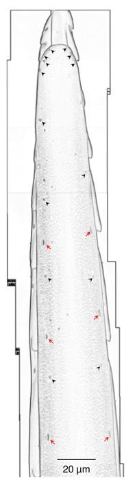 Część żądła osy. Czerwone strzałki zaznaczają czułe na dotyk wypustki w kształcie dzwonu. Czarne strzałki zaznaczają czułe na dotyk i na chemikalia wypustki w kształcie kopuły. (Gal et al PLOS One.)