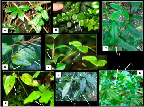 Figure 1. Leaf Mimicry in the Climbing Plant Boquila trifoliolata Pictures of the twining vine B. trifoliolata co-occurring with woody species in the temperate rainforest of southern Chile, where leaf mimicry in terms of size, color, and/or shape is evident. White arrows point to the vine (V) and to the host tree (T). Leaf length of the tree species is shown in parentheses [13]; this may help to estimate leaf size variation in the vine. (A) Myrceugenia planipes (3.5–8 cm). (B) Rhaphithamnus spinosus (1–2 cm). (C) Eucryphia cordifolia (5–7 cm). Notably smaller leaves of B. trifoliolata appear to the left of the focus leaf. (D) Mitraria coccinea (a woody vine; 1.5–3.5 cm). Both here and in (F), the serrated leaf margin of the model cannot be mimicked, but the vine shows one or two indents. (E) Aextoxicon punctatum (5–9 cm). (F) Aristotelia chilensis (3–8 cm). (G) Rhaphithamnus spinosus (1–2 cm). (H) Luma apiculata (1–2.5 cm). The inset shows more clearly how B. trifoliolata has a spiny tip, like the supporting treelet and unlike all the other pictures (and the botanical description) of this vine. See also Figure S1 for pictures showing different leaves of the same individual of B. trifoliolata mimicking different host trees.