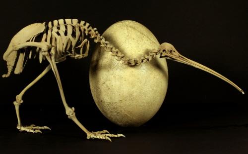 Kiwi i jajo mamutaka. Foto: Kyle Davis & Paul Scofield, Canterbury Museum.