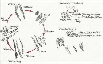 Cykl życiowy nużeńców; https://www.ncbi.nlm.nih.gov/pmc/articles/PMC3884930/, CC BY-NC-SA 3.0