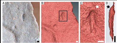 (from PNAS): Type specimen of I. wariootia from Nilpena, including (A) photograph; and (B–D) 3D laser scans. Notice distinct bilateral symmetry (wider end identified by white star in C and deeper end by black star in D). P57685. (Scale bars, 1 mm.)
