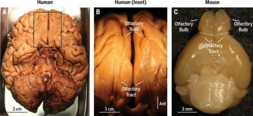 (From paper): Gross anatomy of the olfactory bulbs of human and mouse. (A) Ventral aspect of human brain, with meninges removed from the cortex. Area indicated by dotted rectangle is enlarged in (B). (B) View of left and right olfactory bulbs and olfactory tracts from (A). (C) Ventral aspect of mouse brain, with olfactory bulbs visible at the top. Up is anterior in all three panels. Dashed lines denote the approximate border between bulb and tract.