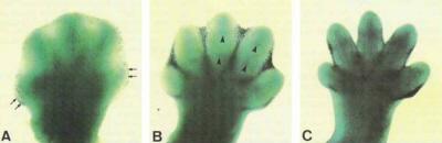 Przykład najklasyczniejszy z klasycznych – by z płetewki powstała zwykła palczasta łapka (tu mysia akurat), pewne komórki muszą umrzeć; http://onlinelibrary.wiley.com/doi/10.1002/ar.1092420114/abstract