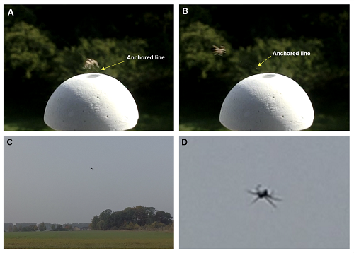 Spiders' posture in takeoff and flight. (A, B) An anchored line was found during a tiptoe takeoff. As soon as spiders were airborne, they stretched the legs outward. (C) To ensure the behavior of outstretched legs during flight, the pose of a spider was observed during its gliding phase. (D) The spider kept its legs outstretched.