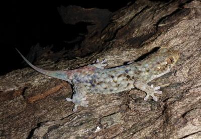 Geckolepis megalepis, nowo odkryty na Madagaskarze, ma największe łuski z wszystkich gekonów z rybimi łuskami. Zdjęcie: Credit Frank Glaw