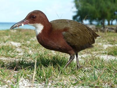 <span>Chruścielowiec białogardły z Aldabry (Janske van de Crommenacker)</span>