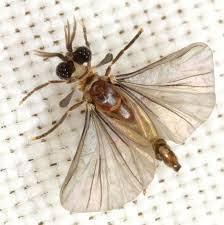 Samiec wachlarzoskrzydły, zdjęcie Mike Hraber. Proszę zwrócić uwagę na przezmianki na przedzie skrzydeł.