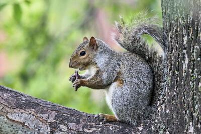 Ameryka�ska wiewiórka szara w wielu krajach europejskich wypiera wiewiórke rud�.