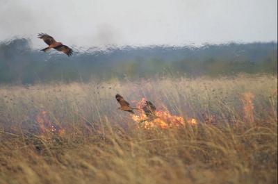 Kanie czarne latające wokół ognia prawdopodobnie rozpoczętego przez nie same. Zdjęcie: BOB GOSFORD