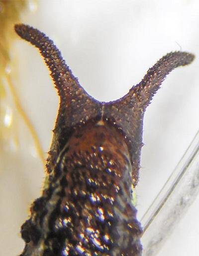 Posterior view of the head of the caterpillar (B) found together with an onychophoran (A) in a sample of arboreal bryosphere. Note that the surface texture of the tubercles on the head of the caterpillar resembles the surface papillae of the onychophoran (see supplemental video 2 showing the entire caterpillar and onychophoran moving about in a lab set-up inside the field station).