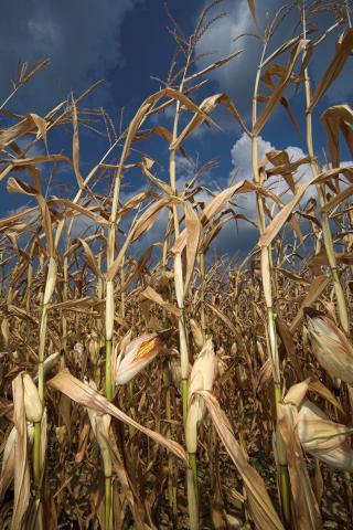 Wyżywienie wielu Afrykanów zależy od kukurydzy, ale zagraża jej szybko szerzący się szkodnik WAYNE HUTCHINSON/GETTY IMAGES