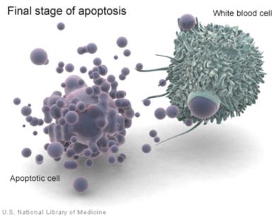 Po lewej apoptotyczne bąbelki, po prawej pożerająca je biała krwinka; U.S. National Library of Medicine, domena publiczna, https://ghr.nlm.nih.gov/gallery